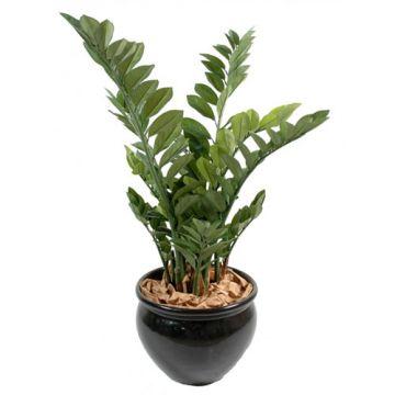 Zamia Palm