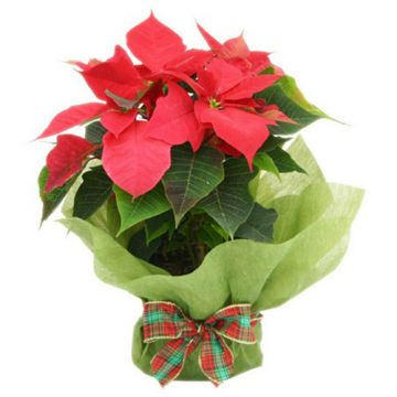 Poinsettia Red Plant
