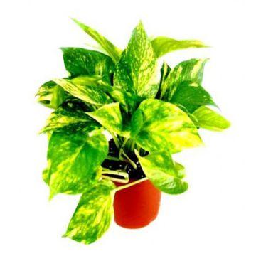 Pothos Money Plant