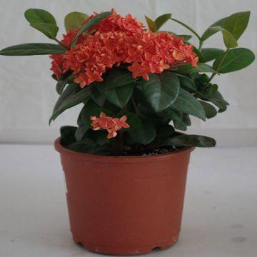 Red Ixora  Coccinea plant