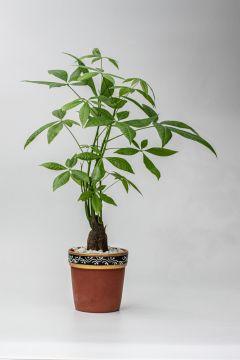 The Bricky Ficus Bonsai