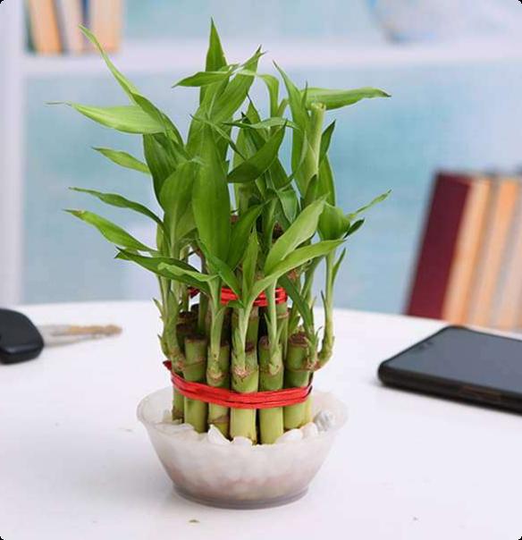 Banmboo Good Luck Plant