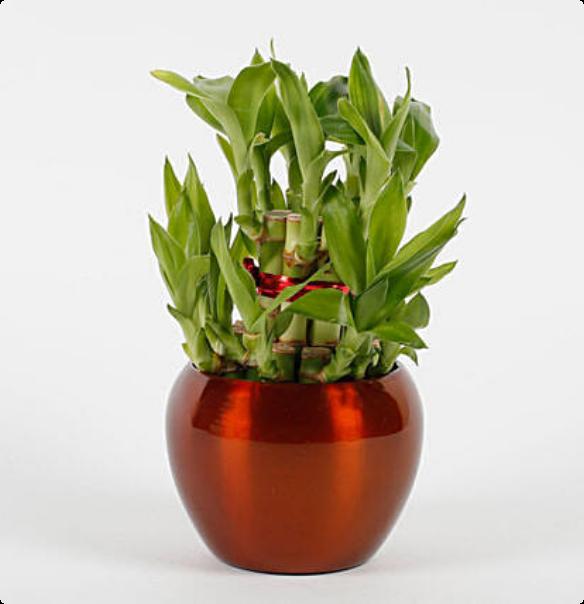 Spiritual & Vastu Plants